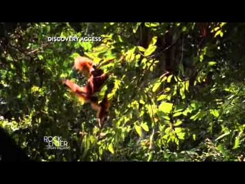 Orangutans dying as demand for palm oil soars