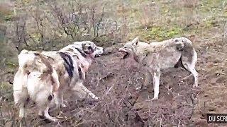 15 Реальных видео ВОЛК VS СОБАКА КТО КОГО? Охота на волка 2019