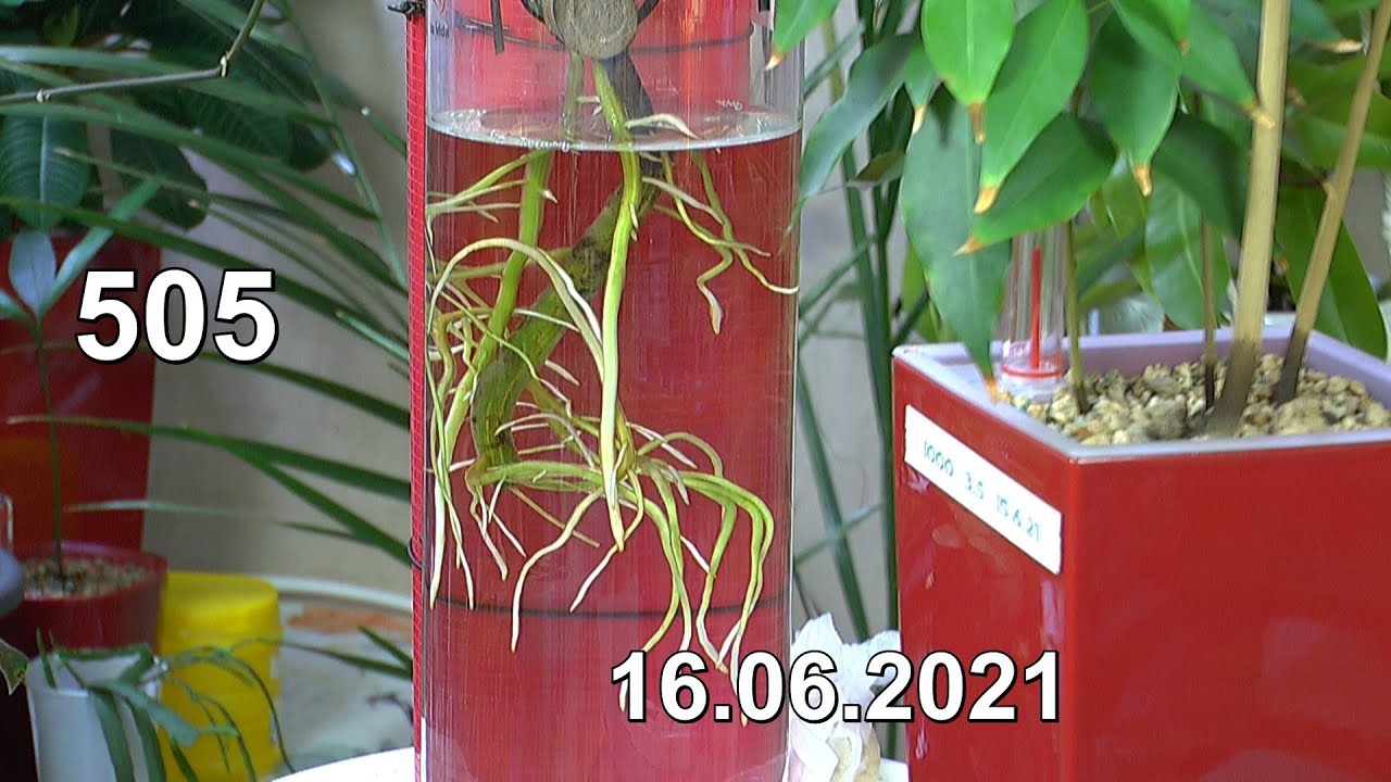 Monstera Thai Constellation, Litschi und Mango. Wasserwerte zur Pflege der exotischen Pflanzen und