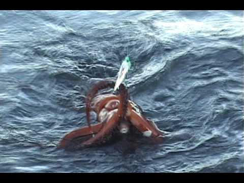 Giant Humboldt Squid caught while fishing in Sekiu, WA - September 2009