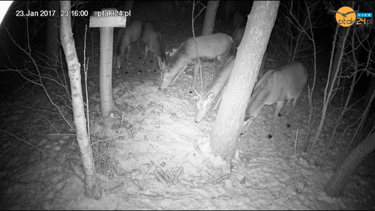 Młody jeleń i duże stado łań w karmisku dla zwierząt w lesie na Podkarpaciu