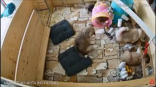 Щенки Акита Ину. Puppies Akita Inu.