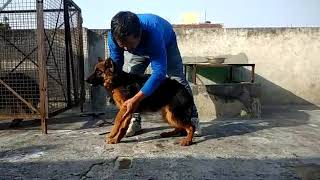 ANSHU.DOG.CARE adults dog available 9716929043