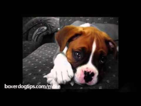 Boxer Puppy Training Tips - Things To Know When Potty Training