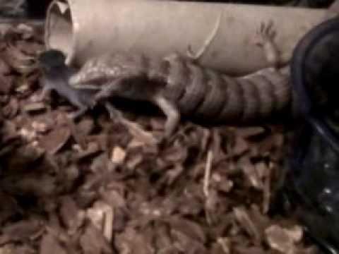 garys alligator lizard eating a mouse