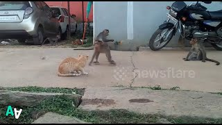 Cat Sits Unfazed as Band of Monkeys Pester it