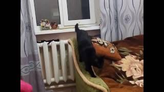 Бомбейский кот Маркиз