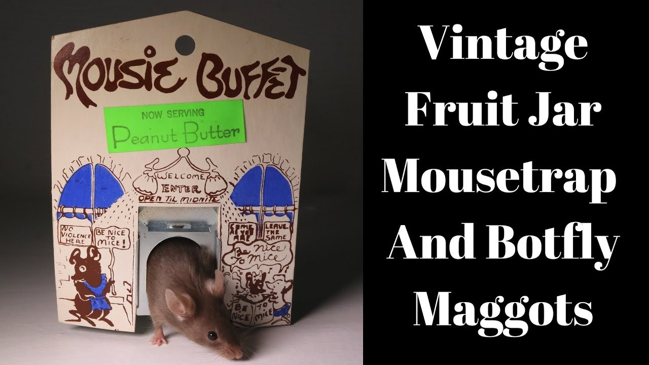 vintage-mousie-buffet-fruit-jar-mousetrap-catches-a-mouse-with-botfly-maggots