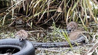 Водяные крысы на охоте