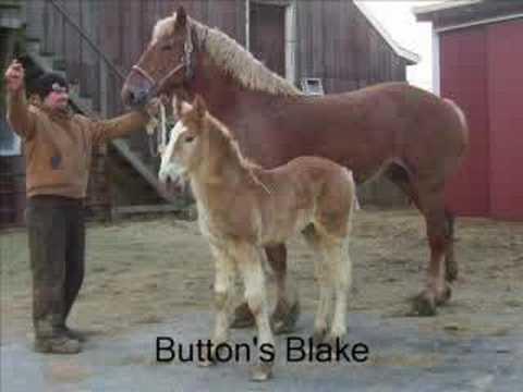 Belgian Draft Horse Foals  YouTube