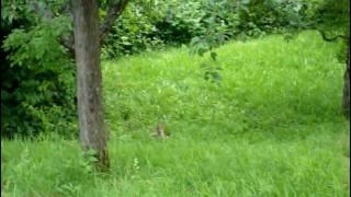 young foxes play with each other - junge Füchse spielen auf der Wiese - Wildlife in Esslingen