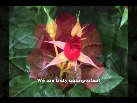 Mon amie la Rose - with English translations