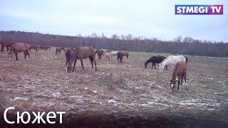 Ахалтекинские лошади. Конный завод имени Владимира Шамборанта