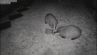Bill and Betty Badger Eating Peanuts In Our Garden