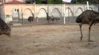 Emu In Punjab Cell No-09876057076 The Nest Emu Farms And Hatcheries, Lakhewali ,Muktsar (Punjab)