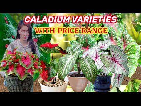 CALADIUM VARIETIES WITH PRICE RANGE