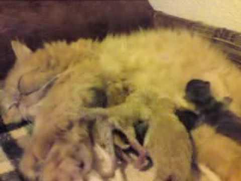 nataschas babies  persian cats