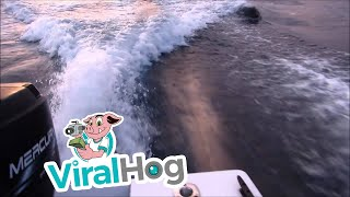 Killer whales (orcas) chase our boat near San Diego Bay