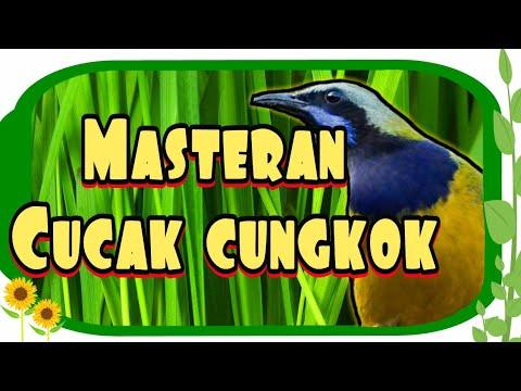 Masteran Tajam Cucak Cungkok - 100% Cocok Buat Kacer, Murai Batu, Cucak Ijo, Pleci Dll...