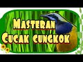 Masteran Tajam Cucak Cungkok  Cocok Buat Kacer Murai Batu Cucak Ijo Pleci Dll  Mp3 - Mp4 Download