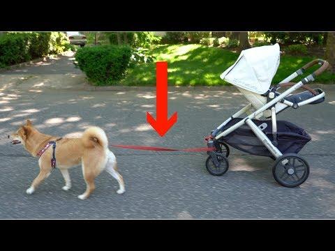 Dog Pulls Baby Stroller Alone!