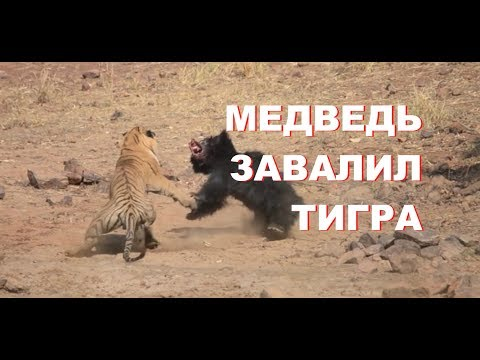 Как медведица завалила тигра