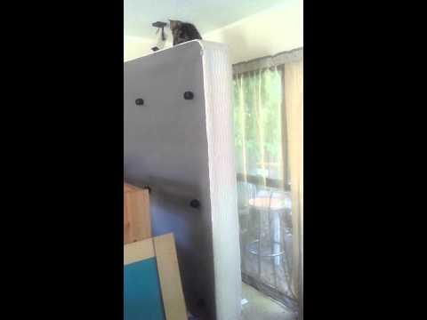 Maximo the Cymric Manx kitten climbs a standing bed