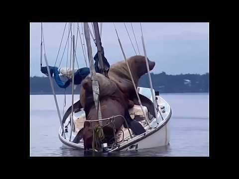 Тюлени на яхте
