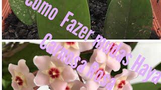 #Diy Como multiplicar sua Hoya carnosa (flor de cera rosa)