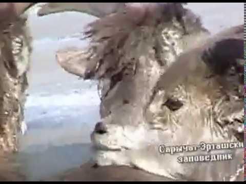 видео: Спасение горных баранов в Сарычат-Эрташском заповеднике.