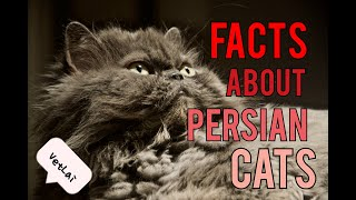 FACTS ABOUT PERSIAN CAT, must know before owning one|VetLai