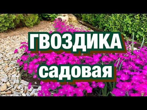 Вопрос: Цветы гвоздики и пряность гвоздика – это разные растения?