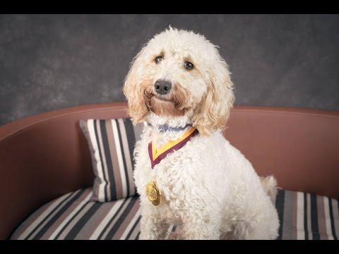 Orsa - Cockapoo - 4 Weeks Residential Dog Training