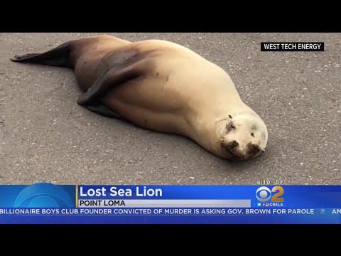 Sea Lion Blocks Traffic In San Diego
