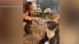 Пожарный Австралии спас коалу и напоил ее водой