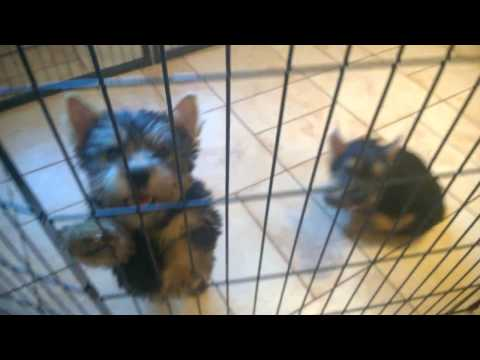 Norwich Terrier puppies MALE 1 and MALE 2 - D.O.B 20.11.2016. 10 weeks