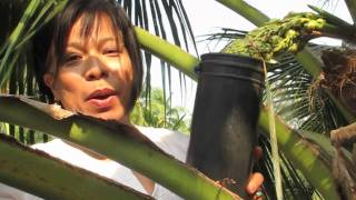 Palm Sugar, how it's made.