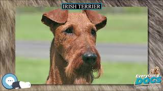 Irish Terrier  Everything Dog Breeds