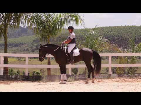 Lote 11 -Matuto do Castanheiro - Cavalos puro sangue Lusitanos - Coudelaria aguilar