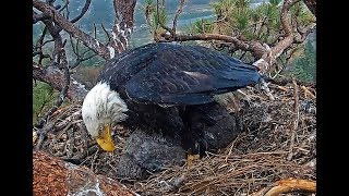 5-10-19 Big Bear Eagles- Mom Protecting Her Babies From The Hail!