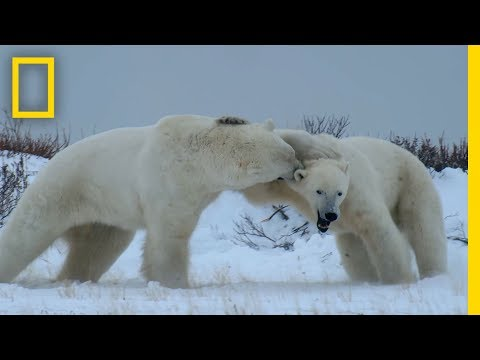 Male Polar Bear Fight Club - Ep. 2 | Wildlife: The Big Freez