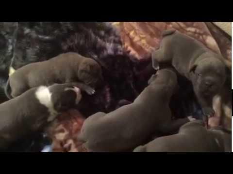 XL Pitbulls puppies at 2 weeks old
