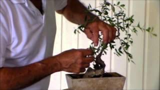 Bonsai with Merv Weeping Yopon Holly 6 8 15