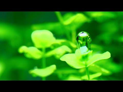#13 ラージパールグラス~可愛らしい水草~(Micranthemum umbrosum)