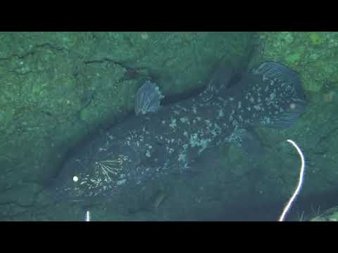 Coelacanth (Latimeria Chalumnae) Sighting At 114m Using A Remotely Operated Vehicle
