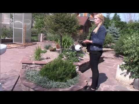 Горная сосна в садовом дизайне  Зеленская Анна