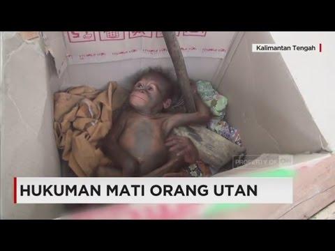 Hukuman Mati Orangutan; Nasib Orangutan di Kalimantan