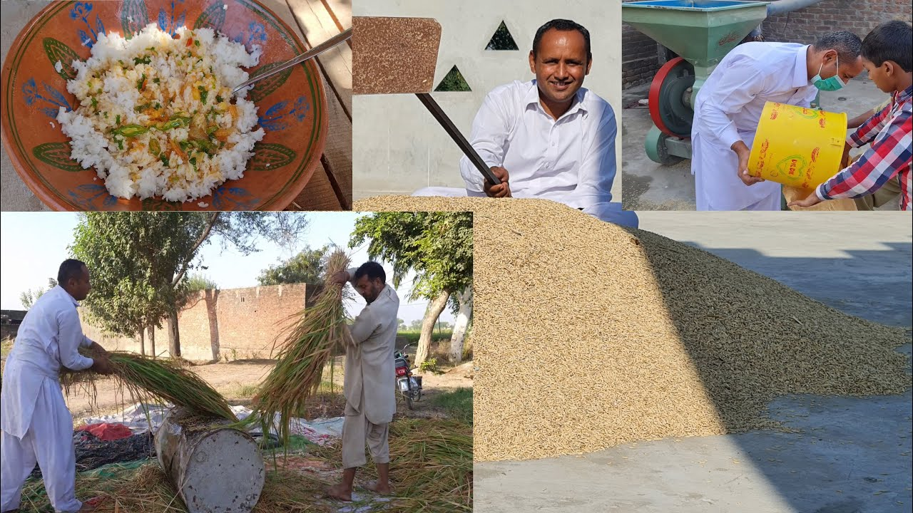 Farmers Busy Harvesting Crops   Life of Rice   How Rice is Made   Village Life   Mubashir Saddique