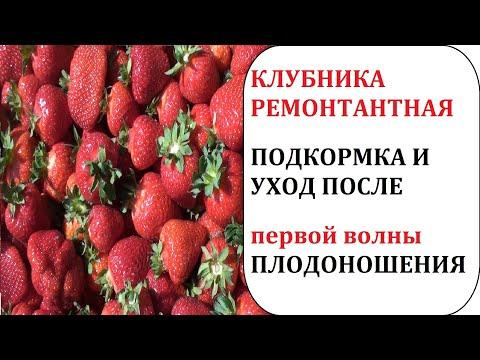 Вопрос: Чем подкормить клубнику Альбион после первого урожая?