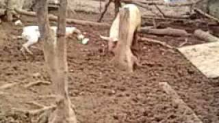 Hmong Dog Training For Pig (hunting)